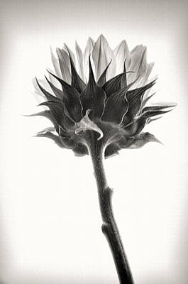 Photograph - Sunflower by John Hansen