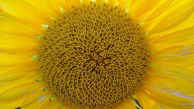 Photograph - Sunflower by John Lyes