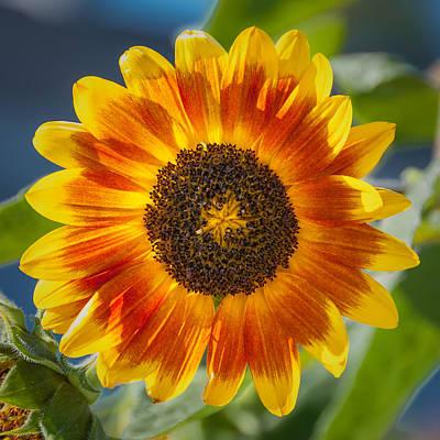 Maine Spring Photograph - Sunflower by Joseph Smith