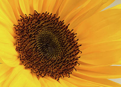 Photograph - Sunflower by JT Lewis