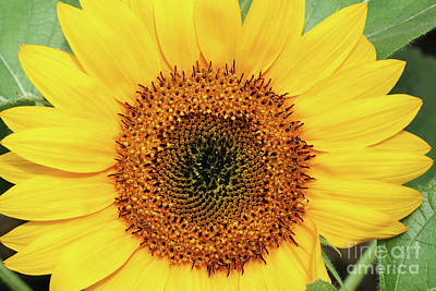 Macro Photograph - Sunflower by Judy Whitton