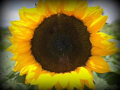 Photograph - Sunflower by Laurie Perry