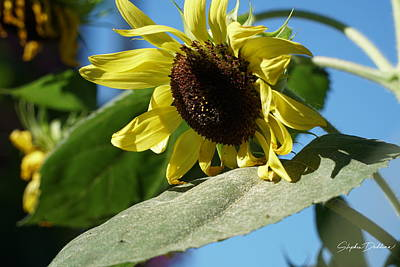 Photograph - Sunflower, Lemon Queen, With Pollen by Stephen Daddona