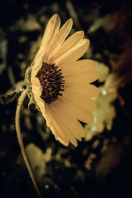 Photograph - Sunflower  by Leticia Latocki