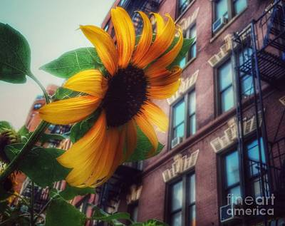 Photograph - Sunflower Love - New Life In Old New York by Miriam Danar
