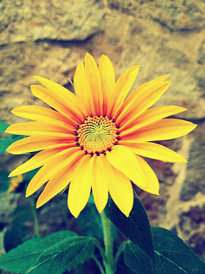 Photograph - Sunflower by Lucia Sirna