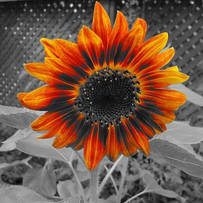 Photograph - Sunflower by Maciek Froncisz