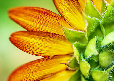 Photograph - Sunflower Macro 1 by Keith Smith