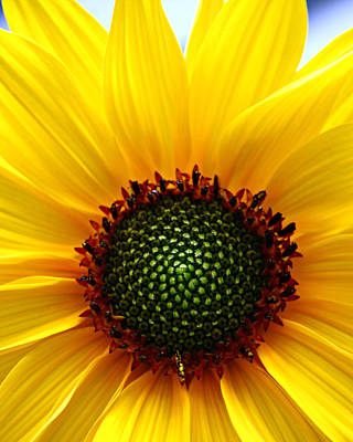 Photograph - Sunflower Macro by Jeanette Fellows