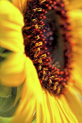 Photograph - Sunflower Macro by Jennie Marie Schell