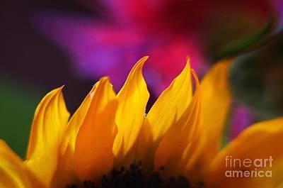 Photograph - Sunflower Madness by Arthur Miller