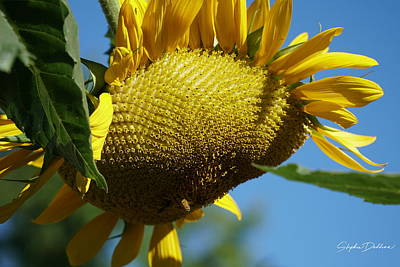 Photograph - Sunflower, Mammoth With Bees by Stephen Daddona