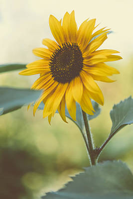 Photograph - Sunflower by Marco Oliveira
