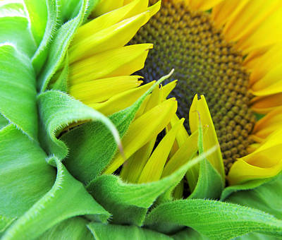 Sunflowers Royalty-Free and Rights-Managed Images - Sunflower by Marianna Mills