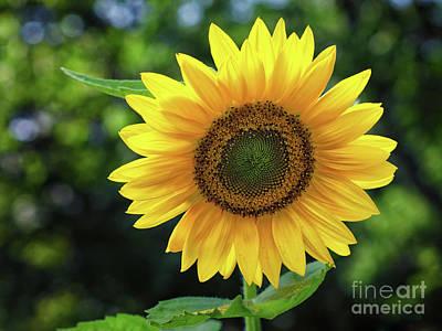 Photograph - Sunflower by Mark Miller