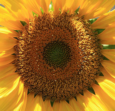 Art Print featuring the photograph Sunflower  by Marna Edwards Flavell