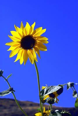Sunflower Print by Marty Koch