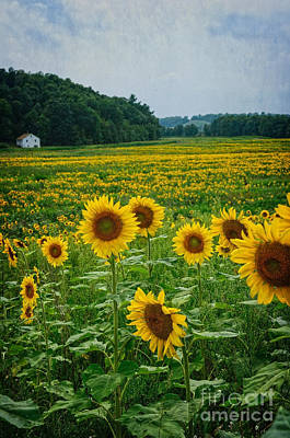 Photograph - Sunflower Maze by Debra Fedchin