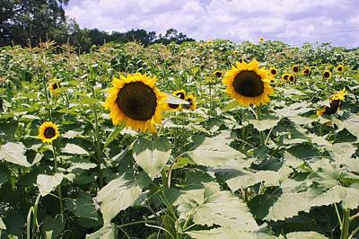 Photograph - Sunflower Maze by Laurie Perry