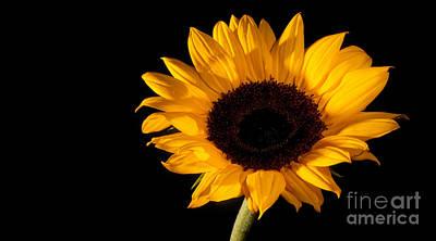 Sunflower Art Print by Michael Herb