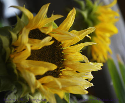 Photograph - Sunflower by Michelle Hoffmann