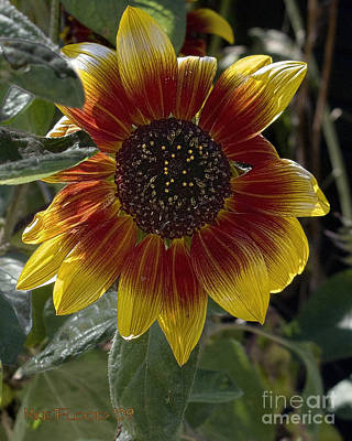 Art Print featuring the photograph Sunflower by Michael Flood