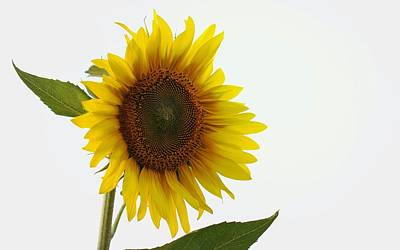 Photograph - Sunflower Minimal by Joseph Skompski