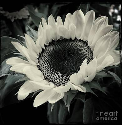 Photograph - Sunflower by Miriam Danar