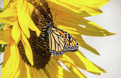 Photograph - Sunflower Monarch by Cheryl Baxter