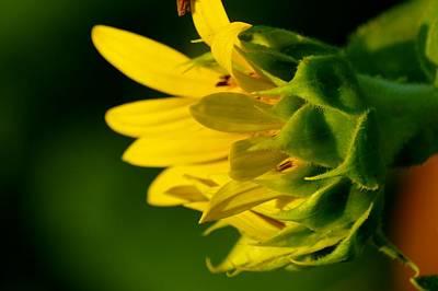 Photograph - Sunflower Morning by Buddy Scott