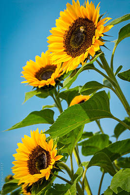 Sunflower Morning Art Print by Debbie Karnes