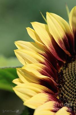 Photograph - Sunflower Named Ruby Eclipse by J McCombie