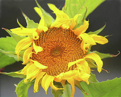 Photograph - Sunflower by Nareeta Martin