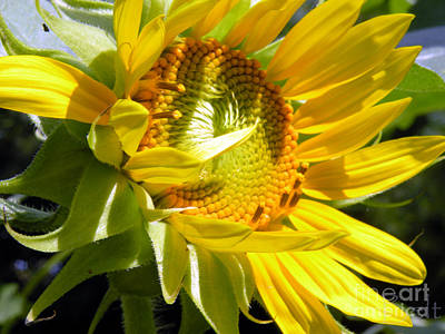 Snickerhaus Gallery Photograph - Sunflower No.35 by Christine Belt