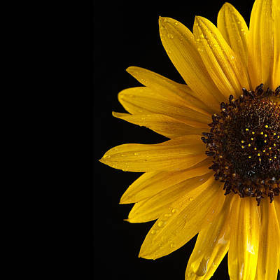 Sunflowers Royalty-Free and Rights-Managed Images - Sunflower Number 3 by Steve Gadomski