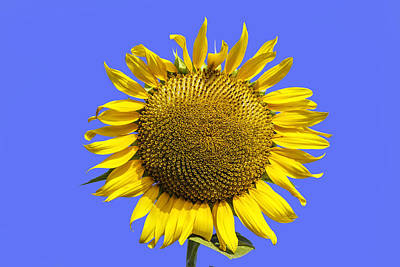 Photograph - Sunflower On Blue by Jim Dollar