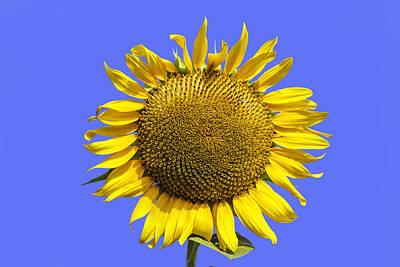 Photograph - Sunflower On Blue by Jim Dollar