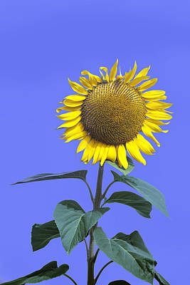 Photograph - Sunflower On Blue Too by Jim Dollar