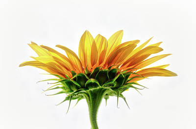 Photograph - Sunflower On White Background  by Jennifer Rondinelli Reilly - Fine Art Photography