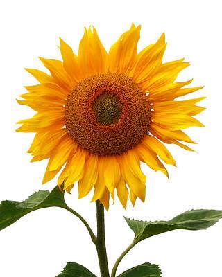 Photograph - Sunflower On White by Gill Billington