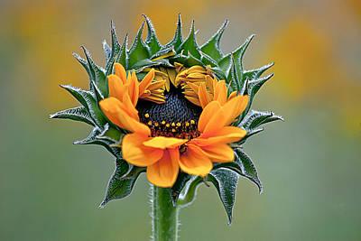 Sunflower Opens Art Print by Emerald Studio Photography