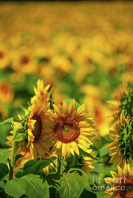 Photograph - Sunflower by Pamela Williams