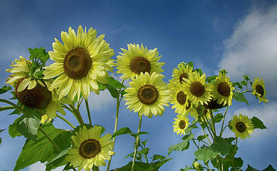 Photograph - Sunflower Party by Eric Miller