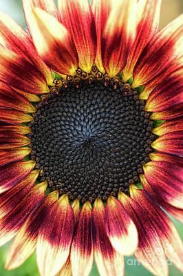Sunflower Pastiche Print by Tim Gainey