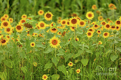 Photograph - Sunflower Patch by George Sheldon