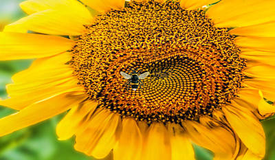 Sunflower Patch Art Print by Pat Cook