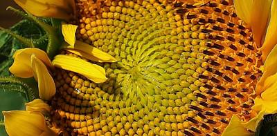 Photograph - Sunflower Patterns by Bruce Bley