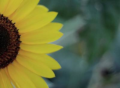 Sunflower Peeking.. Art Print