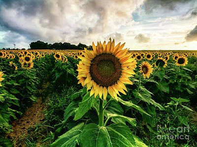 Photograph - Sunflower People by Alissa Beth Photography