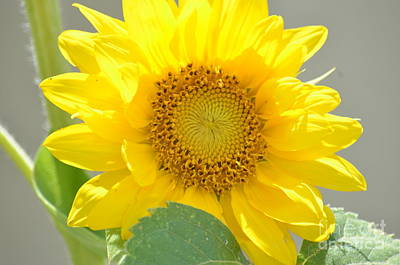 Photograph - Sunflower Perfection by Maria Urso